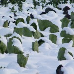 Snow-covered cabbage plants